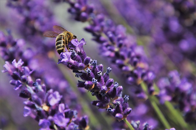 does lavender attract bees