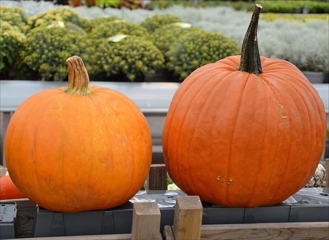 growing pumpkins in grow bags