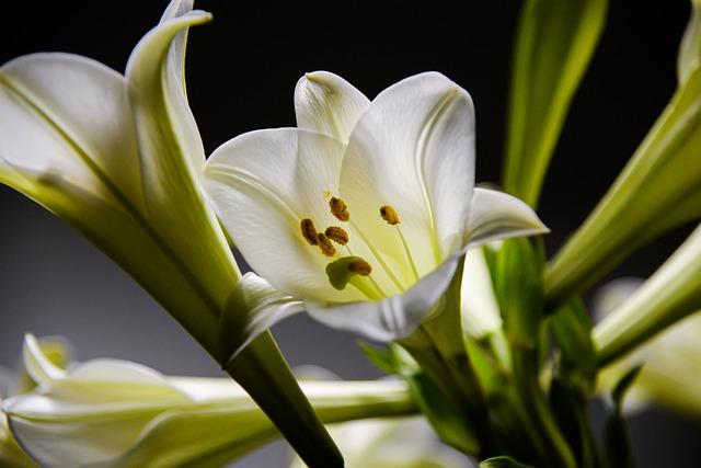 lilium trumpet like flowers