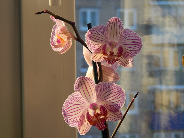 orchid - pink flowers